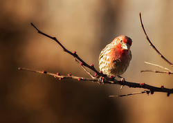 Red Male House Finch perched on a tree branch as the sun sets