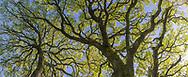 Oak tree panorama, Briones Regional Park, Contra Costa County, California