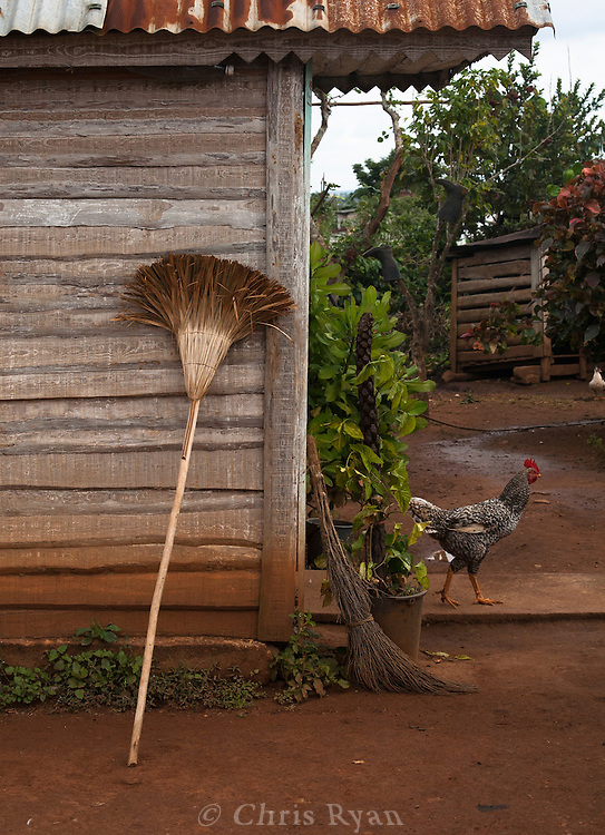Broom and rooster on farm, Vinales Valley, Cuba