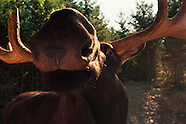 FEATURE: Moose Mania - Moose in Maine