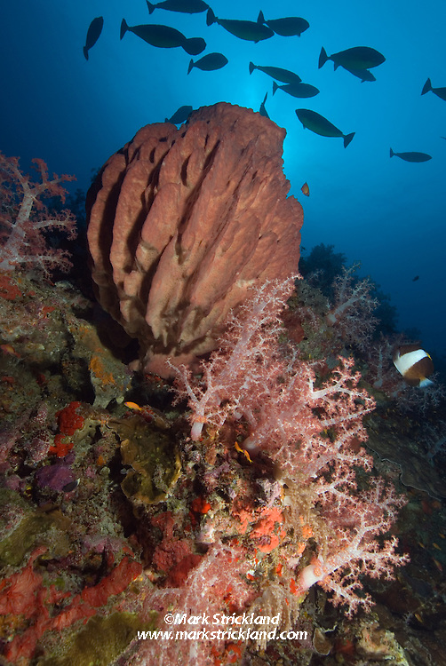 A school of unicornfish hover above soft corals and a large barrel sponge.  Narcondam Island, Andaman Islands, Andaman Sea, India