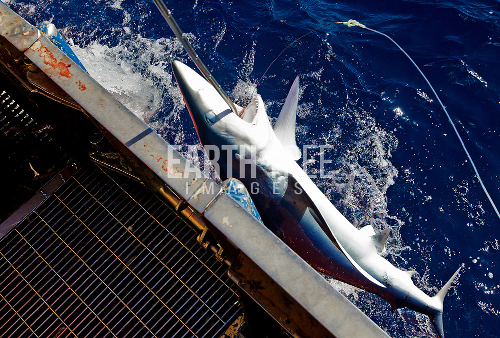 A blue shark is pulled along side the Spanish longliner Herdusa no1 Vigo, 28th September 2012, High seas, South West Indian Ocean. Photo: Paul Hilton for Earth Tree Images