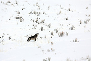 A gray wolf howls in an open, snow-covered landscape.