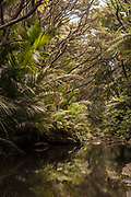 Young Nikau and Manuka or Kanuka, mirroring in the water of a stream along the Goldie Bush Walk in the Waitakare ranges, west of Auckland, New Zealand.d