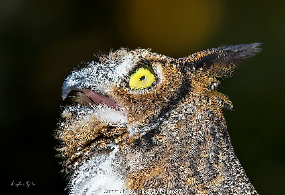 Amber looking up - A Place Called Hope - Great Horned Owl APCH
