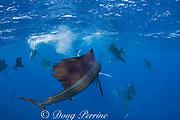 Atlantic sailfish, Istiophorus albicans, finish off a bait ball of Spanish sardines (aka gilt sardine, pilchard, or round sardinella ), Sardinella aurita, off Yucatan Peninsula, Mexico ( Caribbean Sea ) - bright spots in water are reflective scales from sardines just slaughtered