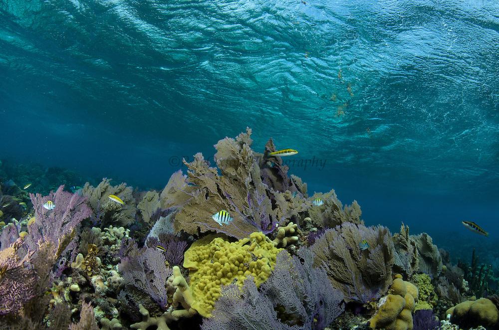 Sea fans (Gorgonia sp.) & Coral reef diversity<br /> Banco Chinchorro, <br /> Offshore Atoll<br /> Yucatan Peninsula<br /> Mexico<br /> Central America