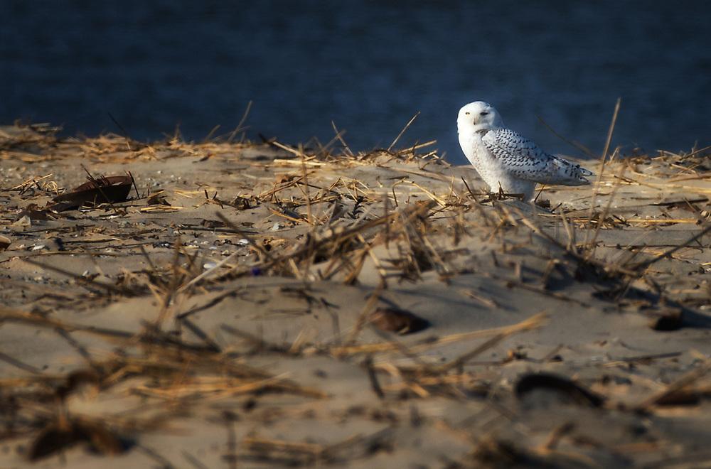 Snow Owl on Fowler Beach, Milford, Delaware<br /> .