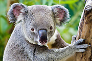 Koala in a eucalyptus tree, Queensland, Australia
