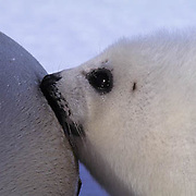 Harp Seal, (Pagophilus groenlandicus) Close-up of pup nursing from mother. Nova Scotia. Canada. Spring.