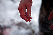 Bloody hands of a hunter during disemboweling a shot deer in the Yakutian Taiga a few hundred kilometers from the city of Yakutsk. Yakutsk (Russian: Яку́тск) is a city in the Russian Far East, located about 4° (450 kilometres) south of the Arctic Circle. It is the capital of the Sakha (Yakutia) Republic in Russia with a major port on the Lena River. The city has a population of 264.000 (2009). Yakutsk is one of the coldest cities on Earth. The average monthly winter temperature in January is around −43,2 °C. Yakutsk, Jakutsk, Yakutia, Russian Federation, Russia, RUS, 24.01.2010.