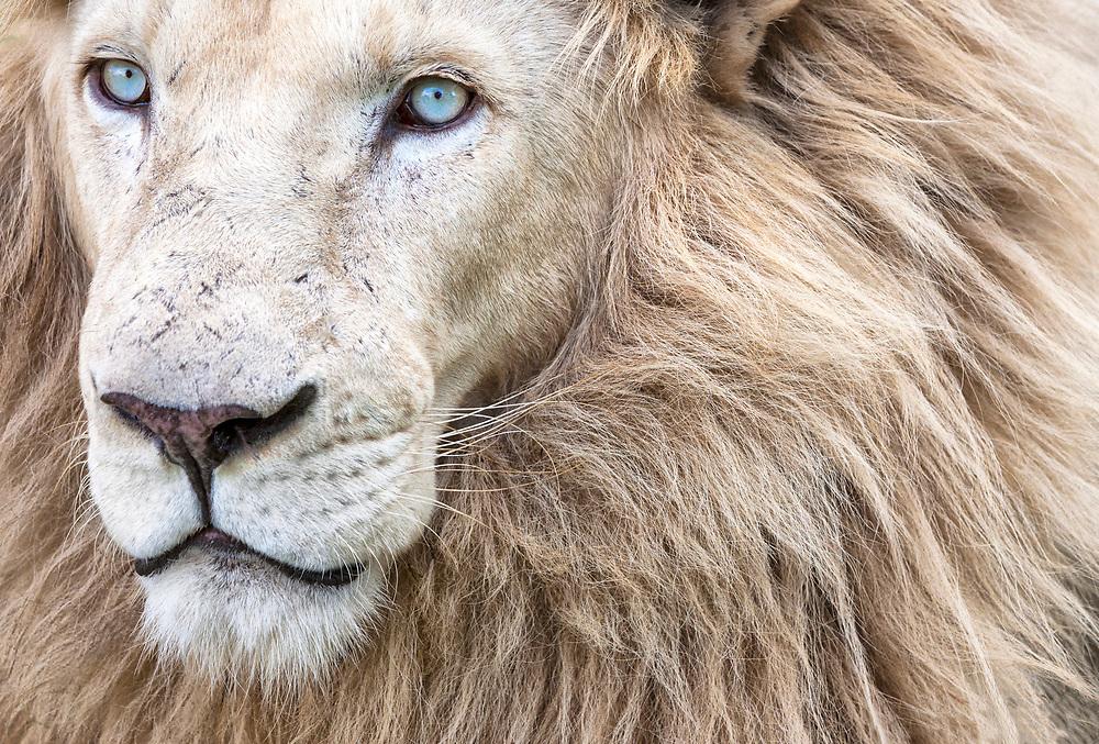 Portrait of a white lion.