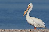 American White Pelican - Pelecanus erythrorhynchos - Adult breeding