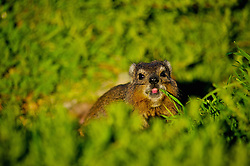 Aug. 23, 2014 - South Africa - Rock Hyrax (Procavia capensis) is a medium-sized (~4 kg) terrestrial mammal, superficially resembling a guinea pig with short ears and tail. The closest living relatives to hyraxes are the modern-day elephants and sirenians...The rock hyrax is found across Africa and the Middle East, in habitats with rock crevices in which to escape from predators. (Credit Image: © Shannon Benson/VW Pics via ZUMA Wire)