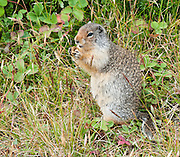 The Columbian Ground Squirrel (Spermophilus columbianus) is a species of rodent in the Sciuridae family. It is found in Canada and the United States. Image is from Mount Assiniboine Provincial Park, British Columbia, Canada.