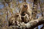 Vervet monkeys (Chlorocebus pygerythrus) in Matobo National Park, part of the Motopos Hiils area in Zimbabwe. The park is an U.N. UNESCO World Hertiage Site. © Michael Durham / www.DurmPhoto.com