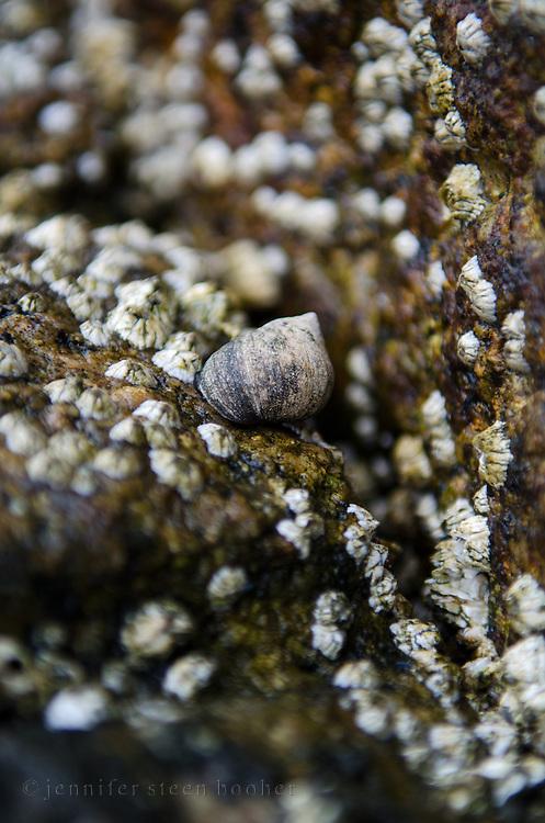 Common Periwinkle (Littorina littorea) and barnacles (Balanus balanoides) on granite rocks, Maine.