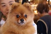 Takayama, Japan Pomeranian