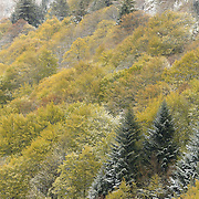 Mixture of trees with fresh green leaves and snow