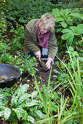 Carol Klein replanting divided pulmonarias