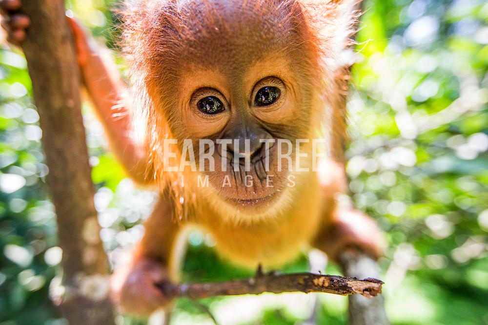 A forest refugee, a baby Sumatran orangutan at the Sumatran orangutan conservation program, quaratine centre outside Medan, Sumatra, Indonesia. Photo: Paul Hilton for RAN