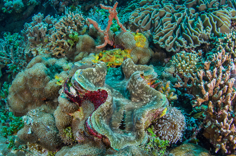 Fluted Giant Clam (Tridacna Squamosa)<br /> Cenderawasih Bay<br /> West Papua<br /> Indonesia