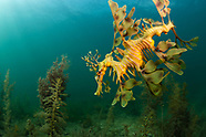 Phycodurus eques (Leafy Seadragon)