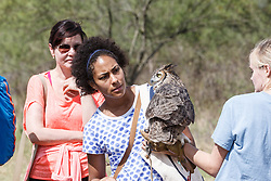 Showing Eastern screech owl to crowd at Raptor Show by Last Chance Forever rehabilitation center, Mitchell Lake Audubon Center, San Antonio, Texas, USA.