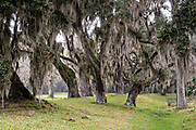 Spanish moss covers live oak trees in the Fort Frederica National Monument, the original colonial settlement in St. Simons Island, Georgia. Fort Frederica was established by Georgia founder James Oglethorpe in 1736 to serve as a bulwark against the Spanish settlements in Florida,