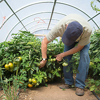 092414      Cayla Nimmo<br /> <br /> Peter McCabe checks on his tomato plant in his garden Wednesday afternoon at his home in Candy Kitchen. McCabe uses his own version of permaculture to ensure a longer growing season in the arid New Mexico climate.