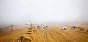 Sandhill Cranes in mist, Montana.