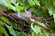 Female woodpigeon nesting in Swinbrook, Oxfordshire, The Cotswolds, United Kingdom