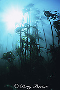 forest of bull kelp, Ecklonia maxima, Partridge Point, Cape of Good Hope, False Bay, South Africa