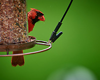 Northern Cardinal. Image taken with a Nikon D810a camera and 600 mm f/4 VR lens