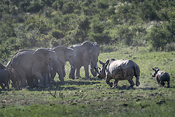 """EXCLUSIVE: An epic clash of the titans has been caught on camera which saw one angry rhino mum scare off 15 ELEPHANTS Carpenter Martin Meyer was visiting a national park in South Africa when he spotted a rhino mum with her young calf. Martin has been visiting the park for 20 years on and off and often drives there for a 'builder's break' between jobs. But never in all the years he's been visiting had he seen anything like this before, when one rhino mum faced-off against a whole herd of elephants. Martin's amazing images were taken around 4.20pm when he came across the brewing confrontation. Martin, who is not naming the park to protect the rhino mother, said: """"Armed with an incredibly beautiful horn and her motherly instinct the mother rhino stood her ground and protected the calf, although she was completely outnumbered by the elephants. """"A herd of about 15 elephants consisting of a matriarch and a few youngsters and a few sub adult bulls were approaching and going to cross the path of the mum and the calf. """"The rhino mum looked intently in their direction and the ellies seemed oblivious to her and the calf and kept encroaching on her personal space. """"When they were around 20 metres away from her position she exploded into a sprint with the baby following and ran directly towards the elephants sending them scattering in all directions, with a massive cloud of dust as a result. """"After recovering from the initial shock the elephant herd regrouped and aligned themselves next to one another to slowly move closer to the rhino mum, almost taunting her. Some of the young bulls even moved around and circled them from behind."""" More than three minutes of stand-off followed as the stare down continued between the rhino mother and the matriarch of the ellies. Martin said: """"My adrenaline was pumping and I was holding my breath for what might happen next, my wife always jokes with me that I stop breathing when I see special stuff in the bush. """"As the d"""