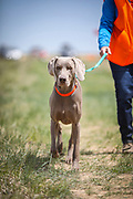 SHOT 5/9/20 1:27:37 PM - Various pointing breeds compete in the Vizsla Club of Colorado Licensed Hunt Test Premium at the Rocky Mountain Sporting Dog Club Grounds in Keenesburg, Co. (Photo by Marc Piscotty / © 2020)