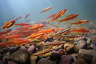 Mountain Redbelly Dace (with Saffron Shiners and Tennessee Shiners)<br /> <br /> Isaac Szabo/Engbretson Underwater Photography