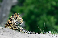 Leopard stretched out on a sand dune at the edge of the Chobe River, with forest in the background, Chobe National Park, Botswana, [LIMITED EDITION PRINTS WILL BE AVAILABLE, other uses are restricted, please contact me for more info.] © David A. Ponton