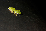 Monday April 16, 2007<br /> American Green Tree Frog<br /> Hyla cinerea.  <br /> Photos by Bryan Rinnert