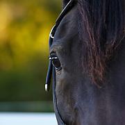 201209 Arabian Horses Thuringer