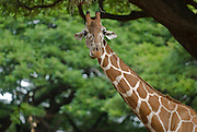 A giraffe stretches his neck at the Honolulu, Zoo in Waikiki, Hawaii.