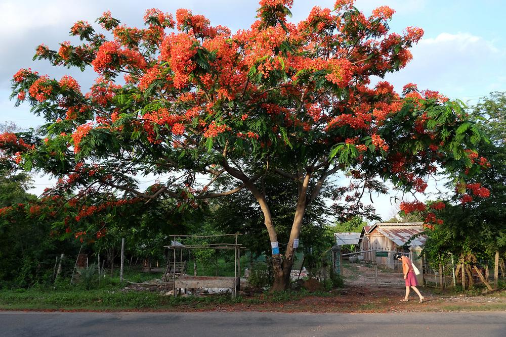 A western tourist is walking under a blossomed Delonix regia tree near Kep, Cambodia.<br /> Photo by Lorenz Berna