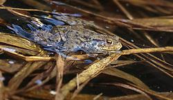 THEMENBILD - ein Frosch in einem Tümpel, aufgenommen am 10. April 2018, Kaprun, Österreich // a frog in a pond on 2018/04/10, Kaprun, Austria. EXPA Pictures © 2018, PhotoCredit: EXPA/ Stefanie Oberhauser.