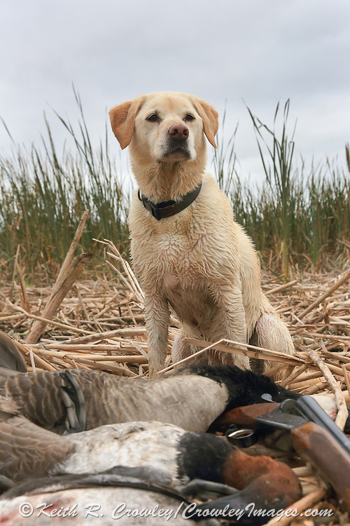 Rosie, a Ten Year Old Yellow Labrador Retriever During a Waterfowl Hunt