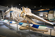 Skeleton of male sperm whale 49 foot long and weighing 90,000 pounds in New Bedford Whaling Museum, Massachusetts, USA