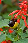 Purple rumped sunbird taking nectar from a flowerhead, Kandy, Sri Lanka