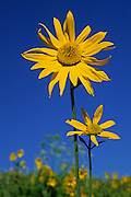 Sunflowers tall and short, enjoy the summer sun near Crested Butte, Colorado