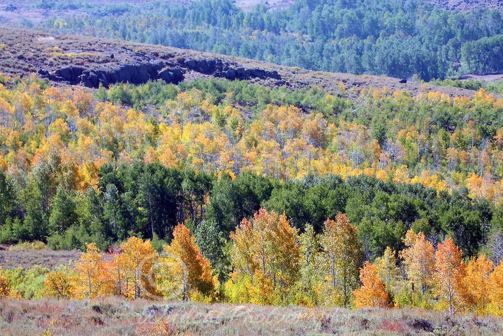 Aspens on Steens Mountain.
