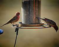 Two male House Finches at a bird feeder. Image taken with a Fuji X-T3 camera and 200 mm f/2 lens and 1.4x teleconverter (ISO 320, 280 mm, f/5, 1/500 sec).