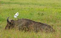 A Cattle Egret, Bubulcus ibis, walks on the back of a Cape Buffalo, Syncerus caffer caffer, in Lake Nakuru National Park, Kenya